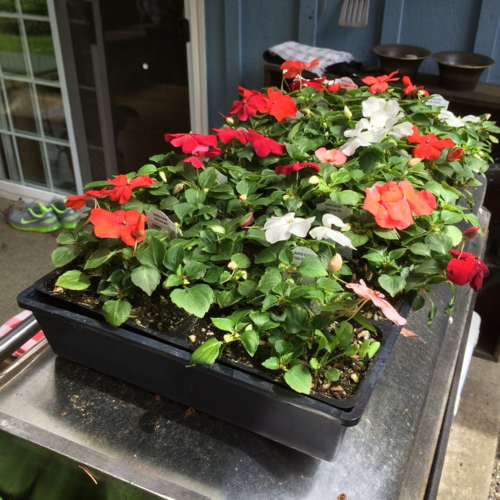 All the pretty impatiens