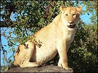 The lion hid the woman's remains in a bush
